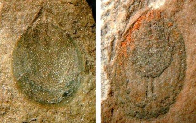 braquiopodoscambrico
